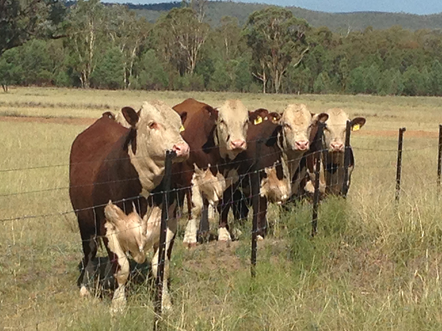 2015 sale bulls on the fence