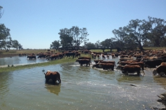 2014 cattle on road