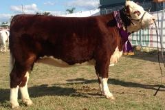Rocky 2015 heifer