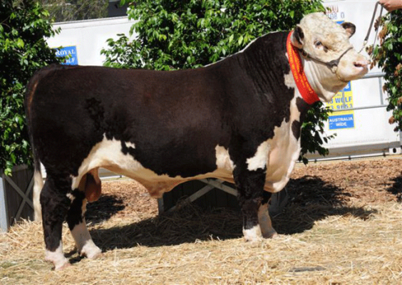 Truro buyers tickled pink with their new bulls – 2010 Sale